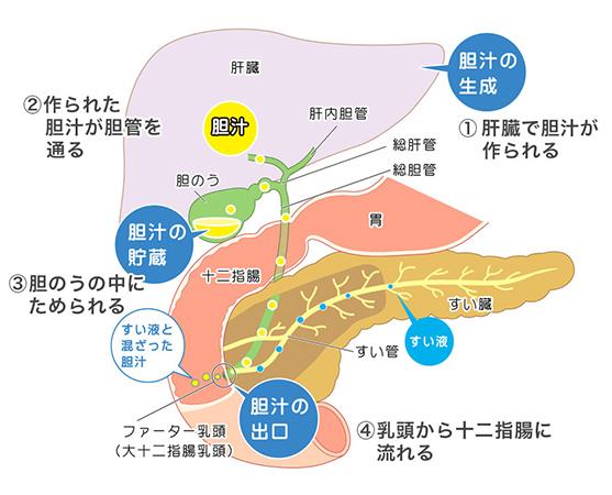 胆管・胆のう・すい臓のイメージ