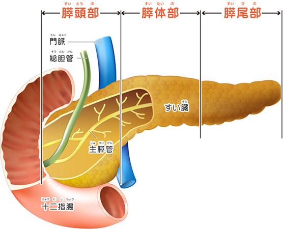 膵臓のイメージ